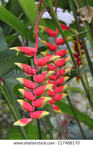 Heliconcia Flower hanging in Bali, Indonesia - stock photo