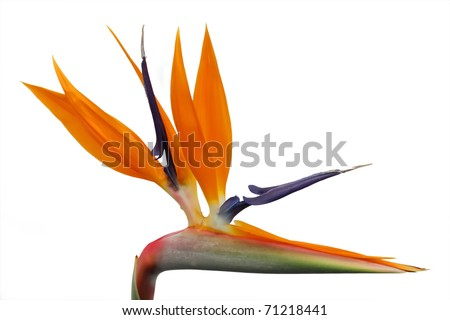 heliconia blossom on white isolated bacground