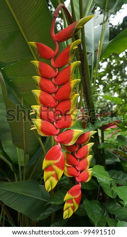Heliconia flower in its natural habitat. - stock photo