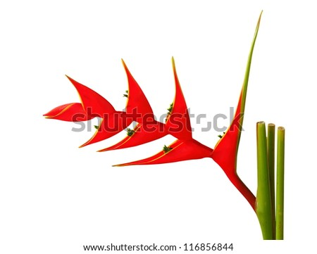 Heliconia flower on a white background. - stock photo