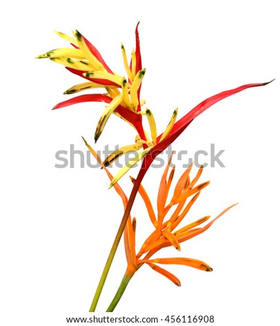 Heliconia Golden Torch blooming on white background. - stock photo