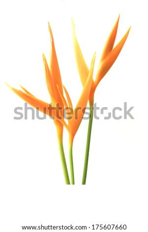 Heliconia : Golden Torch., Orange Torch. (H.psittacorum L.f. x H - stock photo
