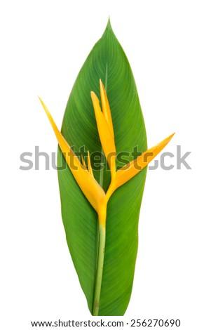 Heliconia : Golden Torch., Orange Torch. (H.psittacorum L.f. x H. spathocircinata Aristeguieta) blooming on white background. - stock photo