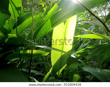 Heliconia  leave with sunlight  in a nature green forest - stock photo