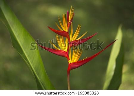 Heliconia psittacorum - stock photo