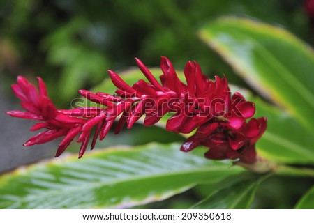 Heliconia with morning dew, tropical flower at botanical garden in St Lucia, Caribbean Sea - stock photo