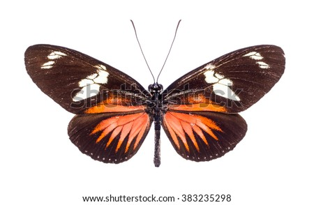 Heliconius doris. Beautiful colorful butterfly with brown and orange wings isolated on white. Ithomiidae, Narrow-Wings - stock photo