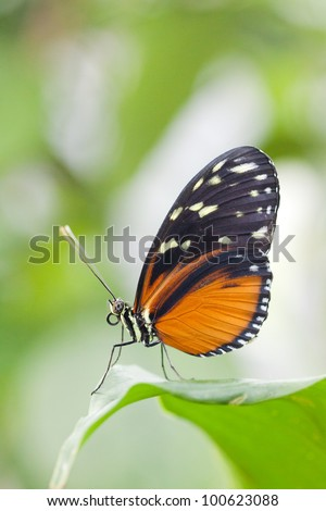 Heliconius hecale butterfly - stock photo