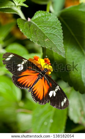 Heliconius hecale, is a species of Lepidoptera belonging to the family Nymphalidae - stock photo