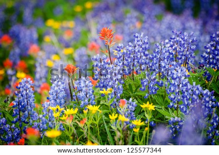 Heliotrope Ridge Wildflowers. During the month of August on the slopes of Mt. Baker, Washington, the wildflowers come out in full force.Lupine, Indian Paintbrush, and Yellow Asters are seen here. - stock photo