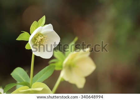 Hellebore - stock photo