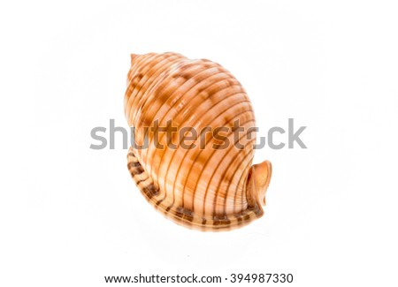 Helmet sea shell - Galeodea echinophora f. adriatica. Empty house of sea snail. Sea shell with twisted canal from Adriatic or Mediterranean Sea - Croatia, Greece or Spain. Isolated on white