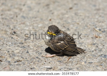 Helpless baby sparrow chick