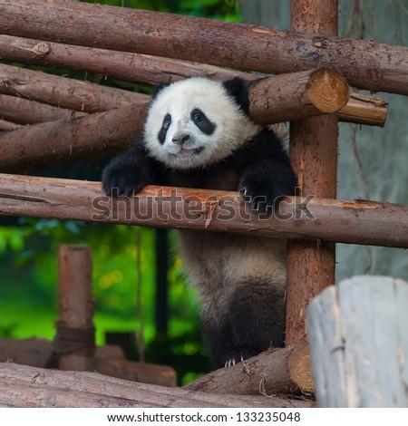 Helpless young panda bear stuck between logs - stock photo