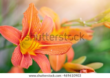 Hemerocallis - Beautiful daylily flowers blossom in the garden