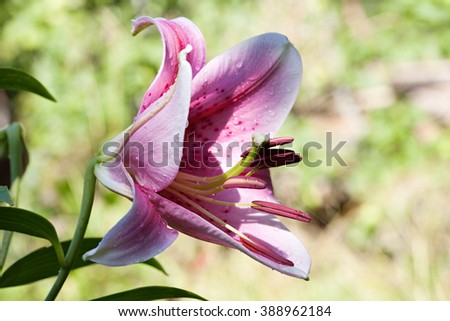Hemerocallis big lily flower closeup on dark background - stock photo