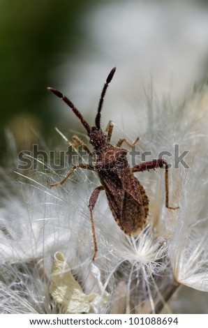 Hemipterous on dantelion - stock photo