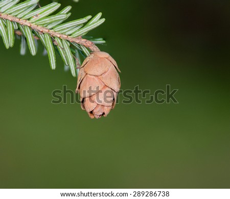 Hemlock Pine Cone hanging from a branch. - stock photo