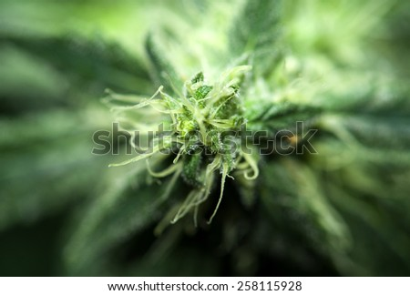Hemp background - stock photo