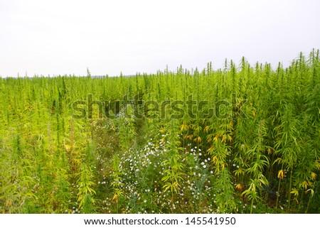 hemp cannabis field in france - stock photo