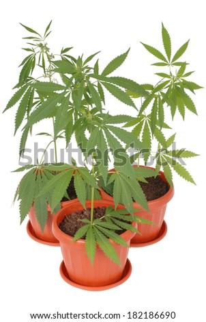 Hemp (cannabis) in a flowerpot on white background - stock photo