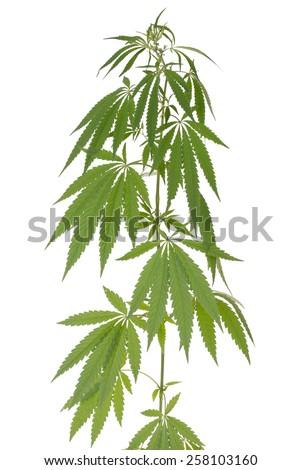 Hemp (cannabis) isolated on white background - stock photo