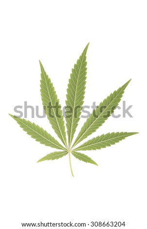 Hemp (cannabis) isolated on white background