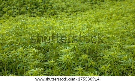 Hemp Flower Buds in a Field with Shallow Background - stock photo