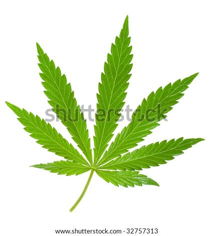 hemp leaf isolated on a white