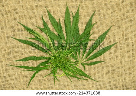 Hemp leaves and seed buds on a burlap surface - stock photo