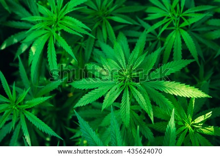 hemp leaves, top view, background image or wallpaper. thematic photo hemp and marijuana DRUG or technical