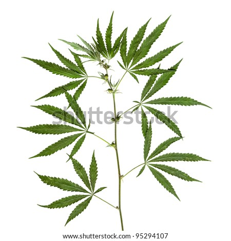 Hemp stalk - stock photo