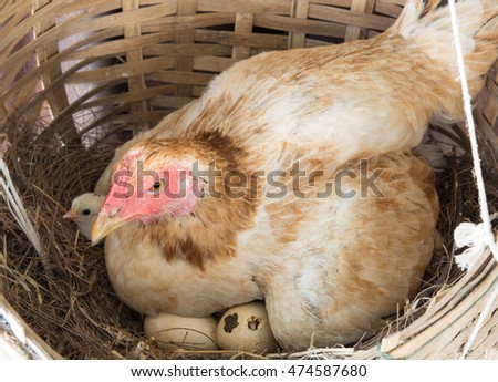 hen and chick on nest
