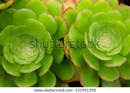 Hen-and-Chicks succulent plant background /Crassulaceae / Houseleek/ Sempervivum decorative plant