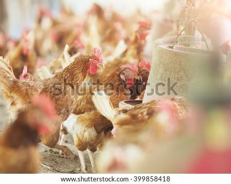 Hen,Chicken egg in farm. - stock photo