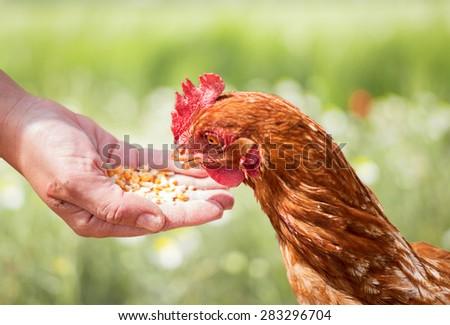Hen feeding - stock photo