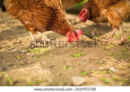 Hen in a farmyard (Gallus gallus domesticus) - stock photo