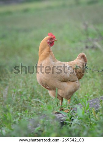 hen in the farm yard, walking on green grass - stock photo