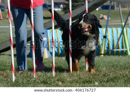 Henderson, Colorado, USA - April 4, 2016: Bernese Mountain Dog weaving through weave poles in Novice Regular Class at Mountain Dog Sports NADAC (North American Dog Agility Council) dog agility trial
