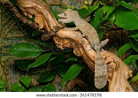 Henkel's leaf-tailed gecko (Uroplatus henkeli) on a branch - stock photo