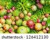Hens and chicks (Jovibarba globifera) texture background - stock photo