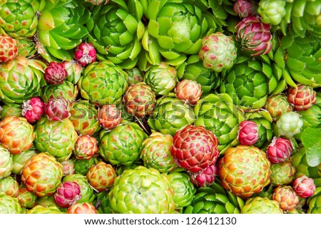Hens and chicks (Jovibarba globifera) texture background