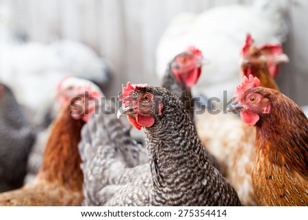 Hens and rooster in the backyard - stock photo