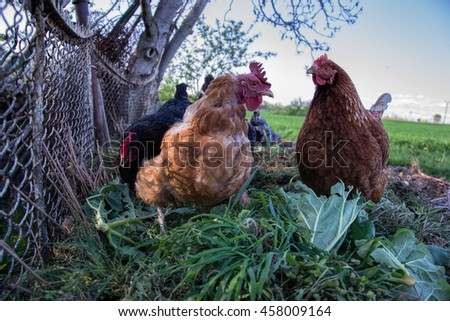 Hens feed on the traditional rural barnyard. Chicken standing on barn yard with the chicken coop. Free range poultry farming  - stock photo