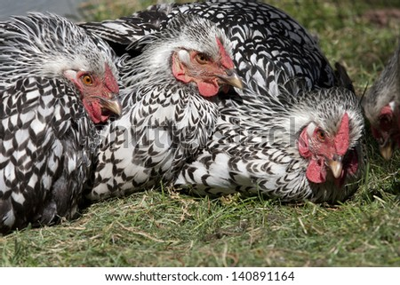 Hens in the grass together.
