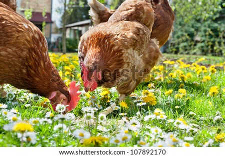 Hens outside in the meadow - stock photo