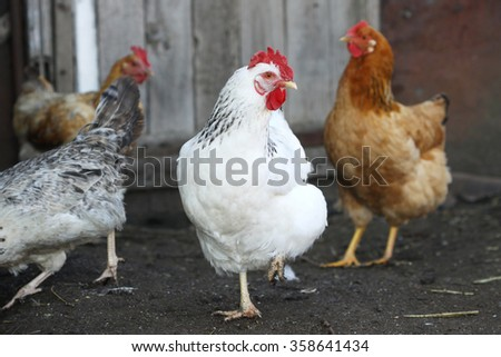hens, poultry on the farm yard