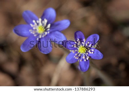 hepatica blooming in the spring woods close up