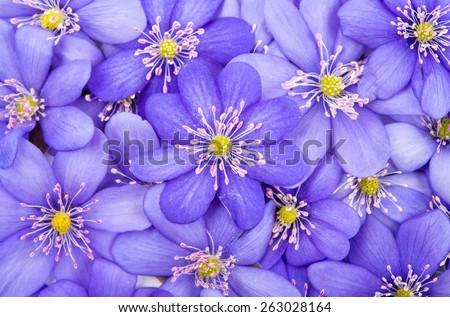 Hepatica nobilis  - stock photo