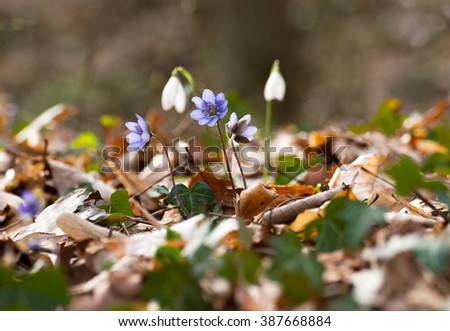 Hepatica nobilis and snowdrop, small group at the bottom of the forest in early spring - stock photo